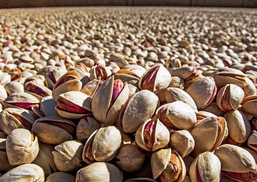 Close up of a field of pistachios from Persia